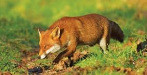 Red fox (Vulpes vulpes) Kent, UK
