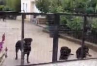 Βίντεο: 8 ροτβάιλερ είχε στην αυλή ο 72χρονος – Οδηγήθηκε σήμερα στον εισαγγελέα