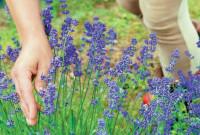 ΣΥΡΙΖΑ Κοζάνης: Το Υπουργείο Αγροτικής Ανάπτυξης & Τροφίμων χαράζει εθνική στρατηγική για τα αρωματικά και φαρμακευτικά φυτά