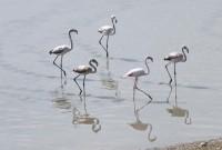Νωρίς φέτος εμφανίστηκαν τα φλαμίνγκο στη λίμνη Πολυφύτου! Δείτε βίντεο και φωτογραφίες
