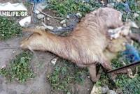 Δείτε φωτογραφίες του KOZANILIFE.GR από επιθέσεις αδέσποτων σκυλιών σε οικόσιτα ζώα στα Πετρανά Κοζάνης