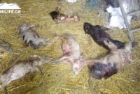Δείτε φωτογραφίες: Περισσότερα από 100 νεκρά οικόσιτα ζώα στα Πετρανά Κοζάνης από αδέσποτα σκυλιά! Τι λέει ο Δήμος Κοζάνης για τα περιστατικά
