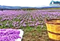 Βίντεο: Σε πλήρη εξέλιξη η συγκομιδή του κρόκου – Δείτε το οδοιπορικό στα χωράφια του κρόκου της Κοζάνης