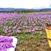 Ανεξόφλητοι οι Κροκοπαραγωγοί της Κοζάνης για την παραγωγή του 2015 – Τι απαντά ο Πρόεδρος του Συνεταιρισμού κ. Νίκος Πατσιούρας
