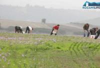 Ξεκίνησε η περίοδος συγκομιδής του Κρόκου στην Κοζάνη – Τι λέει ο Πρόεδρος των Κροκοπαραγωγών για τη φετινή χρονιά