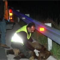 22 νεκρές αρκούδες από τροχαία στην Εγνατία Οδό παρά την φράχτη! Νέο ατύχημα στον κάθετο άξονα Σιάτιστας – Καστοριάς
