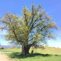 Η αρχαιότερη βελανιδιά της Ευρώπης βρίσκεται στην Δεσκάτη Γρεβενών! Δείτε φωτογραφίες
