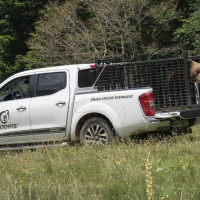 Νεαρός αρκούδος πήδηξε την περίφραξη του καταφυγίου στο Νυμφαίο για να βρεθεί με τα θηλυκά του «Αρκτούρου»