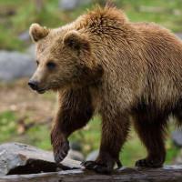 Αρκούδα επιτέθηκε σε 54χρονο σε χωριό του Βοΐου – Νοσηλεύεται στο Νοσοκομείο Καστοριάς