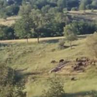 Αγέλη αγριογούρουνων σε ορεινή αγροτική τοποθεσία στο Μικρόβαλτο – Δείτε το βίντεο