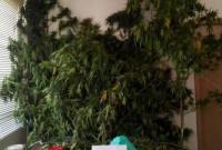 Σύλληψη 54χρονου σε περιοχή της Πτολεμαΐδας για καλλιέργεια χασίς – Δείτε φωτογραφίες