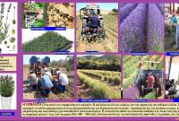 Πληροφορίες για την καλλιέργεια και τις ιατροφαρμακευτικές ιδιότητες της λεβάντας – Του Γεωπόνου Σταύρου Καπλάνογλου