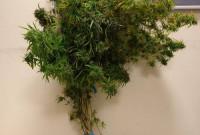Συνελήφθη 40χρονος σε περιοχή της Κοζάνης για καλλιέργεια δενδρυλλίων κάνναβης
