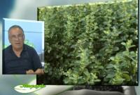 Μελισσόχορτο: Καλλιέργεια και ιατροφαρμακευτικές ιδιότητες – Του Σταύρου Π. Καπλάνογλου, Γεωπόνου