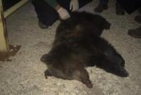 Φλώρινα: Κι άλλη νεκρή αρκούδα σε τροχαίο – Έκκληση από τον Αρκτούρο