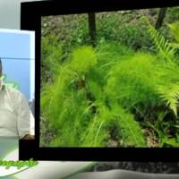 Πληροφορίες για την καλλιέργεια και τις ιδιότητες του άνιθου – Του Σταύρου Καπλάνογλου, γεωπόνου