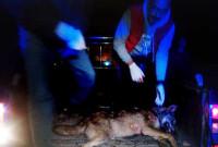 Νεκρός λύκος σε τροχαίο ατύχημα έξω από την Καστοριά