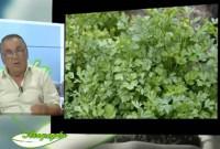 Μαϊντανός: Πληροφορίες για την καλλιέργεια και τις ιδιότητες – Του Σταύρου Καπλάνογλου, Γεωπόνου