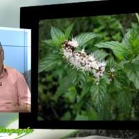 Δυόσμος: Καλλιέργεια και ιατροφαρμακευτικές ιδιότητες – Του Σταύρου Π. Καπλάνογλου Γεωπόνου