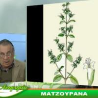 Πληροφορίες για την καλλιέργεια και τις ιδιότητες της μαντζουράνας – Του Σταύρου Καπλάνογλου, Γεωπόνου