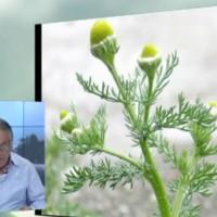 Χαμομήλι: Η καλλιέργειά του και οι ιατροφαρμακευτικές ιδιότητες – Του Σταύρου Καπλάνογλου, Γεωπόνου