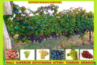 Οι άσπερμες ποικιλίες αμπέλου – Της Μάρθας Στ. Καπλάνογλου Τεχνολόγου Γεωπόνου