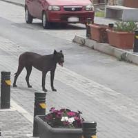 Εγκατέλειψαν τέσσερα τουλάχιστον pit bull στο κέντρο του Βελβεντού – Έντονος ο φόβος των κατοίκων – Δείτε φωτογραφίες