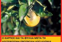 Βίντεο: Εμφανίσθηκε και στην Ελλάδα ο Μαύρος Ακανθώδης Αλευρώδης, σοβαρή απειλή για τα εσπεριδοειδή