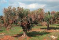 Ενημέρωση από τη Διεύθυνση Αγροτικής Οικονομίας και Κτηνιατρικής Κοζάνης για τον επιβλαβή Οργανισμό καραντίνας Xyllela fastidiosa