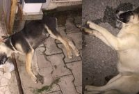 16 νεκρά σκυλιά ο τραγικός απολογισμός από τις φόλες στα Κρεβατάκια Κοζάνης
