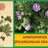Εντομοαπωθητικά φυτά: Κρατήστε μακρυά τα κουνούπια – Της Μάρθας Στ. Καπλάνογλου, Τεχνολόγου Γεωπόνου