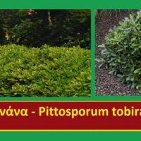 Θάμνοι μπορντούρας και φυτά φράκτες – Της Μάρθας Στ. Καπλάνογλου, Τεχνολόγου Γεωπόνου