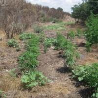 Συλλήψεις για καλλιέργεια και κατοχή ναρκωτικών στο Δοξάτο Γρεβενών – Κατασχέθηκαν πάνω από 8 κιλά κάνναβης και  64 δενδρύλλια