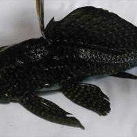 Ψάρι του Αμαζονίου στα νερά της λίμνης της Καστοριάς