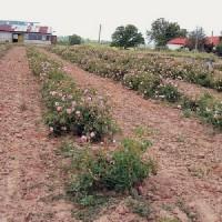 Μέχρι τα… πέρατα της γης «ταξιδεύουν» η λεβάντα και το ροδέλαιο του Συνεταιρισμού Αρωματικών και Φαρμακευτικών Φυτών Βοΐου
