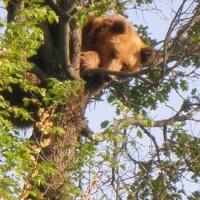 Αρκούδα κατασπάραξε ζώα μέσα σε στάβλους σε χωριά των Γρεβενών