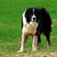 Εκδήλωση για τον Ελληνικό Ποιμενικό σκύλο στο Τσοτύλι
