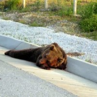 Ακόμη μία νεκρή αρκούδα στη Δυτική Μακεδονία