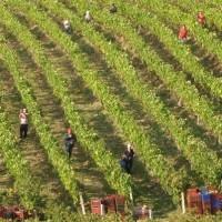 Ξεκίνησε ο τρύγος! Το κρασί και το αμπέλι στη Μακεδονία
