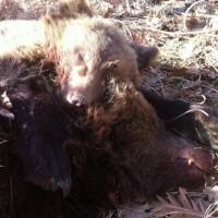 Πυροβόλησαν και σκότωσαν αρκούδα και το αρκουδάκι της σε δασική περιοχή κοντά στα ελληνοαλβανικά σύνορα!