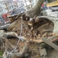 Διευκρινήσεις για το κλάδεμα του πλατάνου στην κεντρική πλατεία Σερβίων