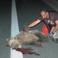 Ατύχημα με θύμα αρκούδα στην Εγνατία στο τμήμα «Σιάτιστα – Κρυσταλλοπηγή»