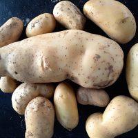 Πατάτα – γίγας σε χωράφι στο Λουκόμι Βοΐου Κοζάνης – Δείτε φωτογραφίες