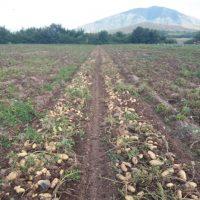 Και μετά την πατάτα – γίγας Βοΐου… πατάτα Δρεπάνου Κοζάνης βάρους πάνω από 2,1 κιλά! Δείτε φωτογραφίες