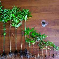 Συνελήφθη 54χρονος σε περιοχή των Γρεβενών για καλλιέργεια 17 δενδρυλλίων κάνναβης