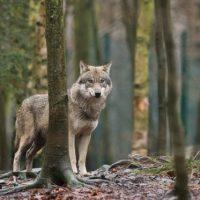Εθεάθη λύκος κοντά στην πόλη της Πτολεμαΐδας