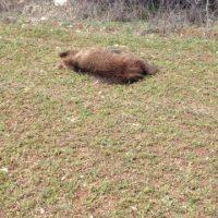 Σκότωσαν και αποκεφάλισαν αρκούδα στο Πυλωρί Βοΐου Κοζάνης