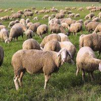 Καταγγελία κτηνοτρόφου από τη Σαμαρίνα κατά της Αστυνομίας την ώρα που βρισκόταν με το κοπάδι 3.000 ζώων σε περιοχή της Δεσκάτης