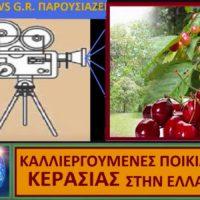 Οι ποικιλίες κερασιάς – Της Μάρθας Στ. Καπλάνογλου, Γεωπόνου – Τεχνολόγου
