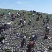 Αγέλη αγρίων αλόγων στον δρόμο προς την Ερμακιά Εορδαίας
